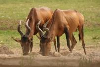 Red Hartebeest/Bubale