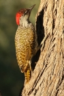 Golden-tailed Woodpecker/Pic a queue dorée