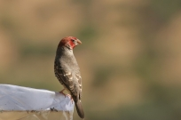 Red-headed Finch/Amandine à tête rouge