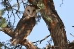 Barn Owl/Chouette effraie