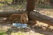 Yellow Mongoose/Mangouste jaune