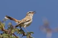 Kalahari Scrub Robin/Agrobate du Kalahari