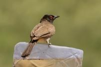 African Red-eyed Bulbul/Bulbul brunoir