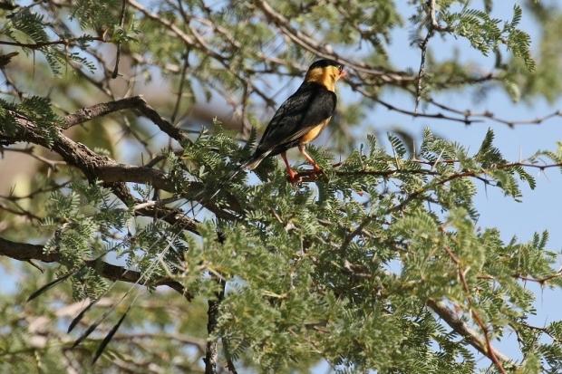 Shaft-tailed Whydah/Veuve royale