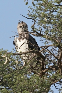 Martial Eagle/Aigle martial juv.