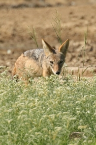 Black backed Jackal/Chacal à chabraque