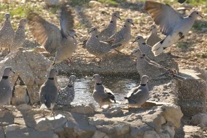 Cape Turtle-Dove/Tourterelle du Cap