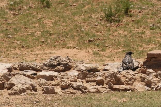 Buse rounoir et Tortue léopard