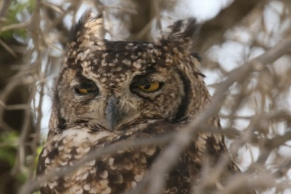 Spotted Eagle-Owl/Grand-Duc africain