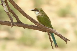 Swallow-tailed Bee-Eater / Guepier à queue d'aronde