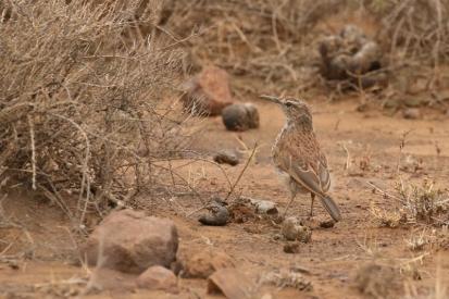 Karoo Long-billed Lark/Alouette du Karoo