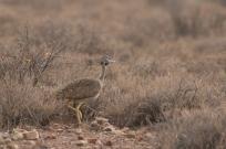 Karoo Korhan/Outarde de vigor