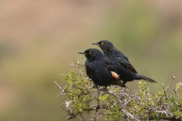 Pale-winged Starling/Rufipenne nabouroup