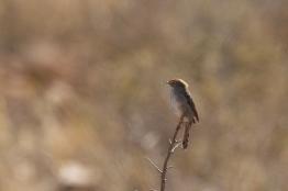 Namaqua Warbler/Prinia du Namaqua
