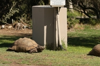 Tortue à Karoo