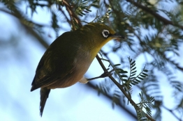 Cape White-eye/Zostérops du Cap