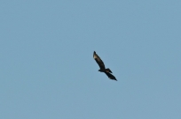 Black Eagle/Aigle de Verreaux