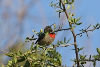 Southern (Lesser)Double-collared Sunbird/Souimanga chabilée
