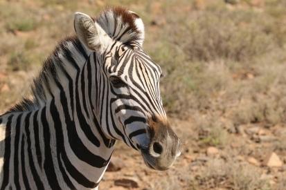 Burchell's Zebra / Zèbre de Burchell