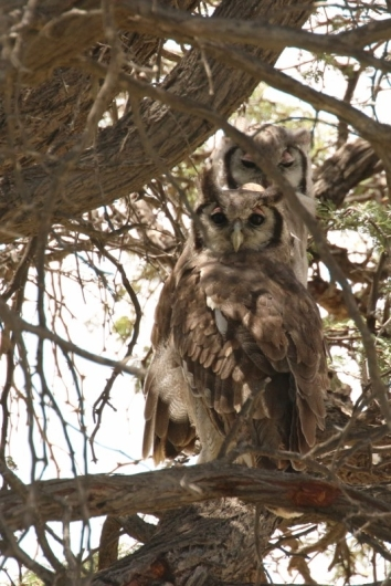 Verreau'x Eagle-Owl/Grand duc de Verreau
