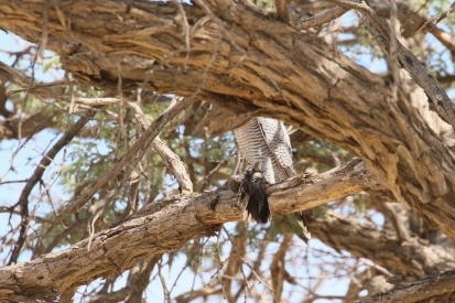 Red-necked Falcon/Faucon chiquera