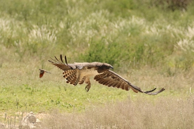 Martial Eagle/Aigle Martial au camp