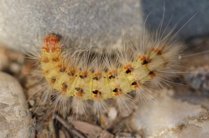 Chenille/Caterpilar
