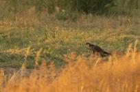 Lanner Falcon/Faucon lanier + proie