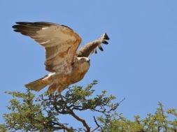 Brown Snake-Eagle/Circaète brun