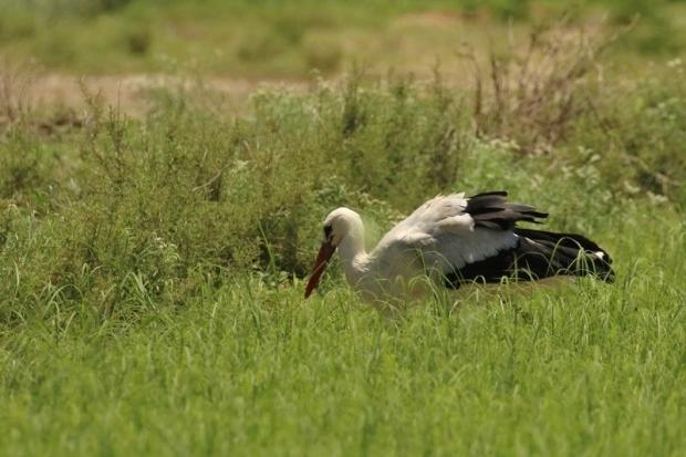 White Stork/Cigogne blanche