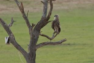 Verreau'x Eagle Owl/Grand duc de Verreaux