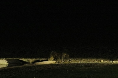 Brown Hyena/Hyène brune