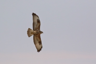 Steppe Buzzard/Buse des steppes