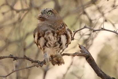 Pearl-spotted Owlet/Chevêchette du Cap