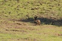 Bat-eared Fox/Otocyon