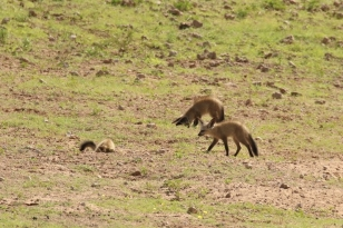 Bat-eared Fox/Otocyon