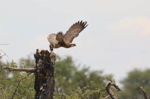 Lanner Falcon/Faucon lanier