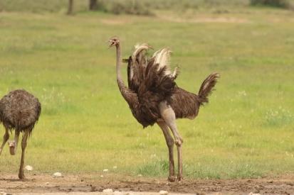 Autruche/Ostrich