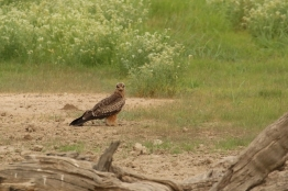 Booted Eagle/Aigle botté