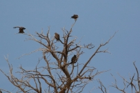 Yellow-billed Kite/Milan d'Afrique