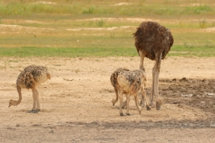 Ostrich/Autruche - Marie se Gat