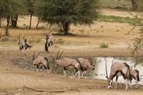 Oryx- Kasperdraai