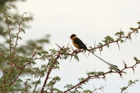 Shaft-tailed Whydah/Veuve royale