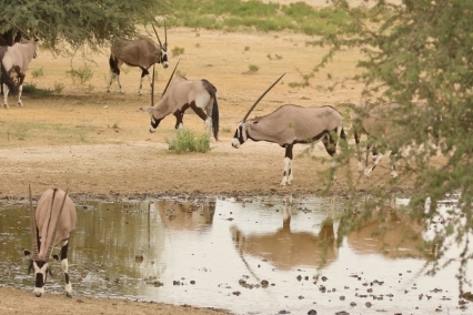 Oryx - Kasperdraai