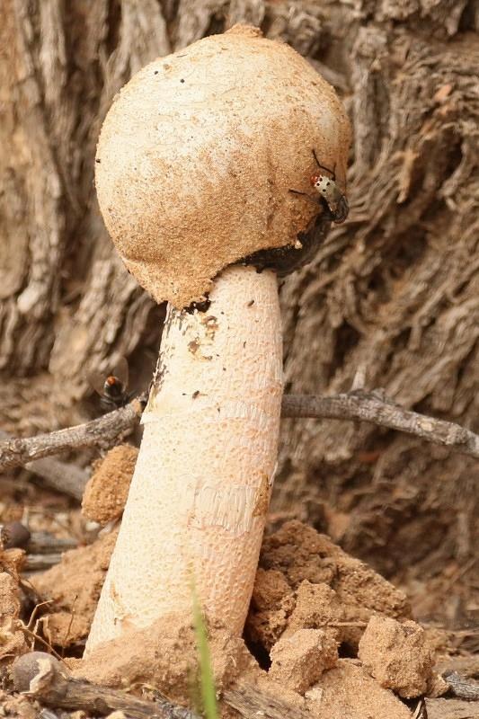 champignon + mouche