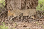 AWC - African Wild Cat/Chat sauvage africain