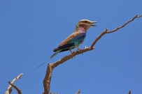 Lilac-breasted Roller/Rollier à longs brins