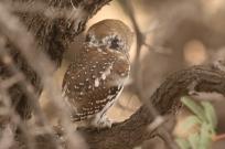 Pearl-spotted Owlet/Chevêchette du Cap - les faux yeux