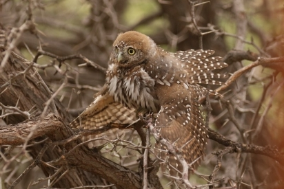 Pearl-spotted Owlet/Chevêchette du Cap tentant de s'abriter de la pluie
