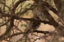 Pearl-spotted Owlet/Chevêchette du Cap, mais où est la troisième ?